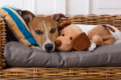 Cozy  dog in bed with teddy bear Stock Image