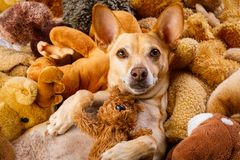 Cozy dog in bed with teddy bears stock photography