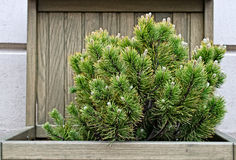 Cozy garden fir tree Stock Photos