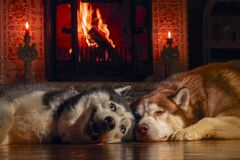 Free Cozy Home. Two Beautiful Big Dogs Bask By  Burning Fireplace In Warm Room, Winter Evening. Royalty Free Stock Photography - 169997767