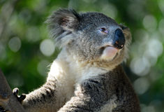 Cozy Koala, Aloof and Fuzzy. A chill Koala takes is easy in the branches of his tree royalty free stock photography