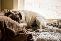 Cozy Pug Stock Images