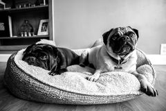 Cozy Pugs. A couple of pugs cozy in their bed Stock Photos