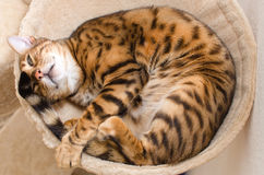 Cozy sleeping cat Royalty Free Stock Images