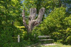 Cozy spot for relax and rest near old tree in form of fork figure in garden Royalty Free Stock Images
