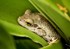 Everglades - Cozy Tree Frog stock images