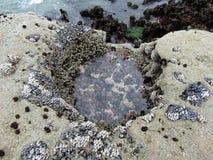 Cozza o molluschi bivalve e balani del collo d'oca che coprono le rocce alla spiaggia botanica nella bassa marea, isola di Vancou fotografia stock