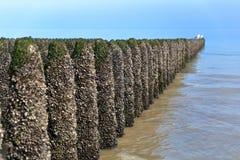 Cozze coltivate sui bouchots dei pali sul cappuccio vicino Gris Nez, ` Opale, passo di danza de Calais, Hauts de Francia, Francia Immagini Stock Libere da Diritti