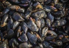 Cozze crude fresche, fresche dal mare, un'azienda agricola della cozza sulla costa del sud dell'Albania fotografia stock