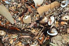Cozze d'acqua dolce, unionoida bivalve acquatico dei mulluscs fotografia stock