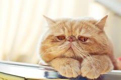 CPA猫内部纵向射击  免版税库存图片