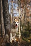 Portrait of beautiful dog breed Siberian Husky sitting on the stump in the late autumn forest on birch trees background. Close-up Portrait of beautiful, free and royalty free stock photo