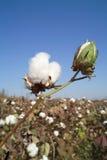 Cápsula del algodón Fotos de archivo