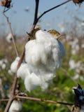 Cápsula del algodón con el DOF bajo Fotografía de archivo