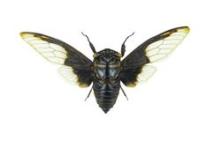 Cpytotymtan aquila, cicada isolated on white background Royalty Free Stock Photos