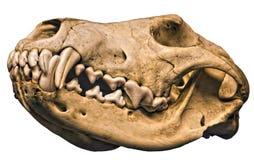 Cráneo aislado del lobo Imagen de archivo libre de regalías