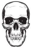 Cráneo aislado en el fondo blanco Foto de archivo