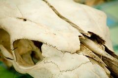 Cráneo animal Foto de archivo