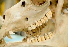 Cráneo animal Fotos de archivo