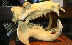 Cráneo animal fotografía de archivo libre de regalías
