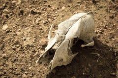 Cráneo animal, color de la sepia Fotografía de archivo