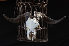Cráneo animal con los claxones grandes Imágenes de archivo libres de regalías