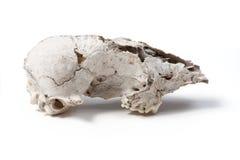 Cráneo animal dañado Imagen de archivo libre de regalías