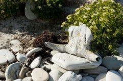 Cráneo animal en Islas Malvinas Foto de archivo libre de regalías