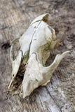 Cráneo animal en la madera Foto de archivo