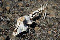 Cráneo animal en piedras. Fotografía de archivo
