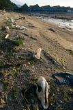 Cráneo animal muerto entre basura en línea de la orilla imagenes de archivo