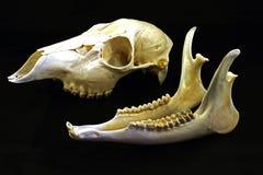 Cráneo (capreolus del Capreolus) Imagen de archivo libre de regalías
