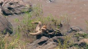 Cráneo con el ñu de los cuernos del antílope en la orilla del río de Mara en la África almacen de metraje de vídeo
