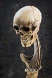 Cráneo con el cuerno de los ciervos de descortezamiento Imagenes de archivo