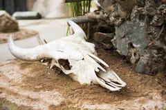 Cráneo con los cuernos, los restos de un animal grande Imagen de archivo