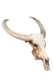 Cráneo de Bull aislado Imagenes de archivo