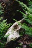 Cráneo de Bull entre las hojas verdes del helecho Fotografía de archivo