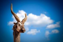 Cráneo de la cabra Fotografía de archivo libre de regalías