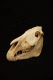 Cráneo de la cebra Imagenes de archivo