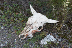 Cráneo de la vaca Imagen de archivo libre de regalías