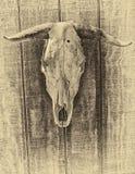 Cráneo de la vaca con el agujero de punto negro Imagen de archivo libre de regalías