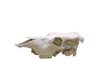 Cráneo de la vaca con el camino Foto de archivo libre de regalías