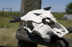 Cráneo de la vaca en el rancho de Wyoming Foto de archivo libre de regalías