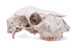 Cráneo de las ovejas Imagen de archivo libre de regalías