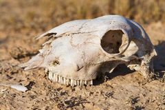 Cráneo de las ovejas Imágenes de archivo libres de regalías
