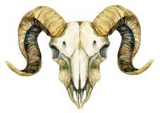 Cráneo de las ovejas aislado en el fondo blanco ilustración del vector