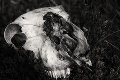 Cráneo de las ovejas en roca Fotografía de archivo