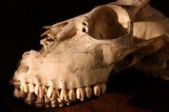 Cráneo de los ciervos Fotografía de archivo libre de regalías
