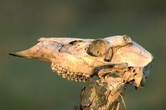 Cráneo de los ciervos imagen de archivo