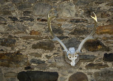 Cráneo de los ciervos comunes Fotografía de archivo libre de regalías